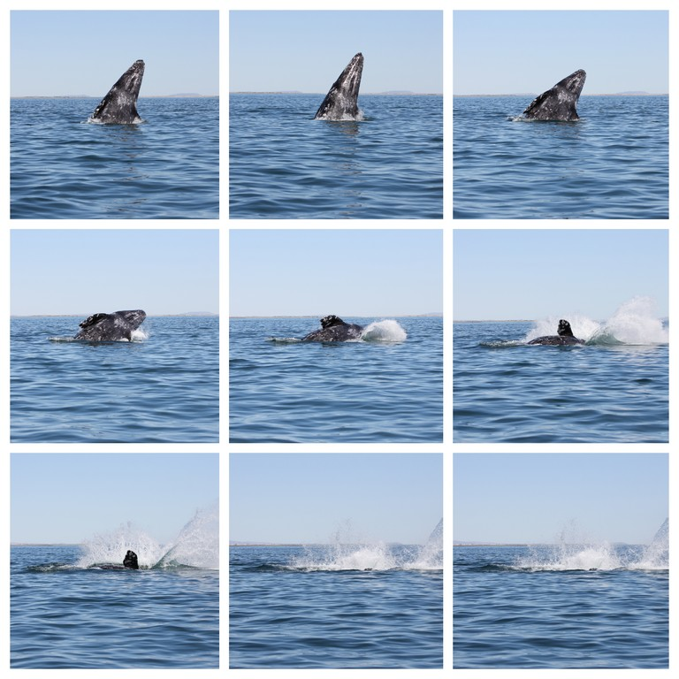 Collage whale breaching