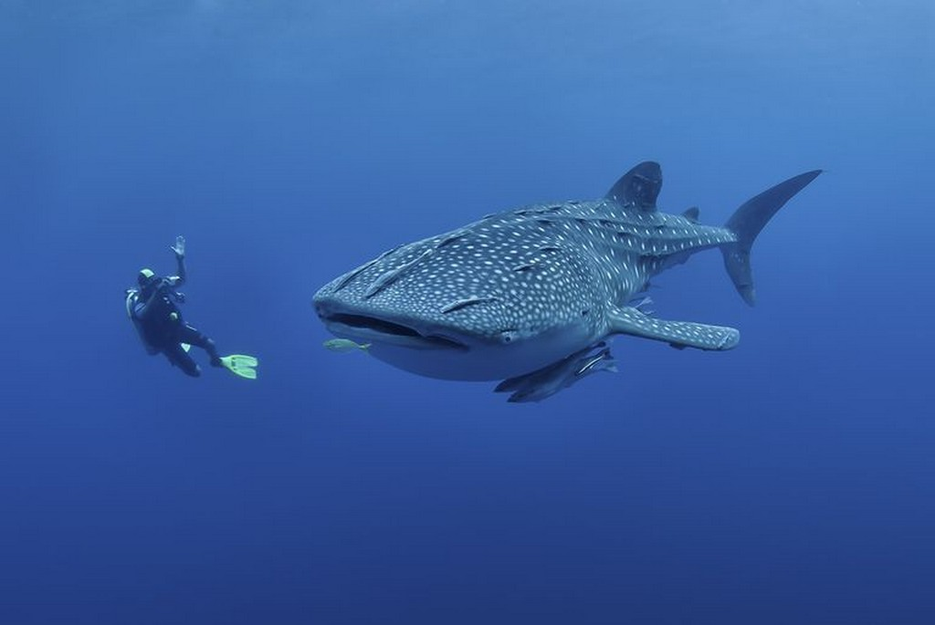 Whale shark nicked picture